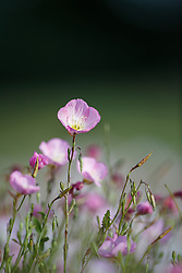Pink Evening Primrose, Great Trinity Forest, Dallas, Texas, USA