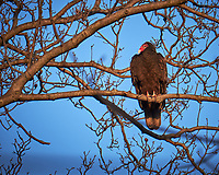 Turkey Vulture in a tree.  Image taken with a Fuji X-T1 camera and 100-400 mm OIS lens (ISO 200, 400 mm, f/5.6, 1/180 sec)