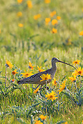 Long-billed Curlew on the Rocky Mountain Front, Montana.