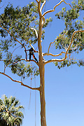 Woman arborist, or arboriculturist, in Lemon Scented Gum (Corymbia citriodora), King's Park, Perth, Western Australia