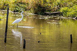 Great Egret or Common Egret (Ardea alba) - a large bird of the Ardeidae family.  The species is widely distributed and immediately recognizable by it's heron like legs and neck but with pure white feathers and a yellow beak.