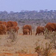 Group of red elephants in Tsavo, Kenya.