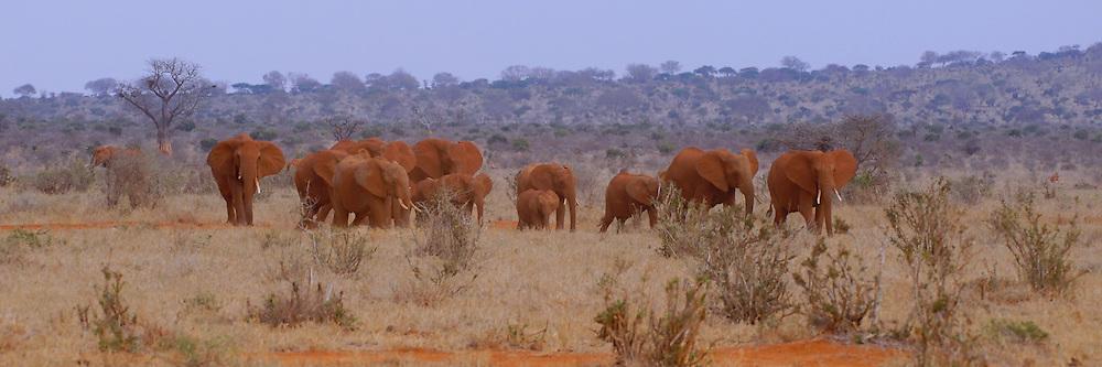 Group of red elephants in Tsavo, Kenya.
