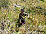 A White Hmong ethnic minority woman harvesting glutinous rice using a sickle, on an upland field, Ban Hauywai, Phongsaly province, Lao PDR.  Compared to more modern sedentary lowland farmers, shifting cultivators generally use much fewer purchased inputs.  The main inputs are family labour, hand tools and seeds. Purchased fertilisers are never used on sloping land.