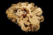 """(Neophrissospongia nolitangere) Picture was taken in cooperation with the Zoological Museum University of Hamburg   Tiefseeschwamm (Neophrissospongia nolitangere) Das Bild entstand in Zusammenarbeit mit dem Zoologischen Museum Hamburg (ZMH); S 3623, Nord-Ost-Atlantik, Große Meteorbank, 330 m, FS """"Meteor"""" M 42/3, St. 495, 30°05'N 28°27'W  Grundschleppnetz, 10.09.98, Maße ca. 95 x 95 x 46 cm, leg. Dieter Piepenburg"""