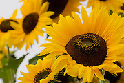Bevy of sunflowers in Napa Valley