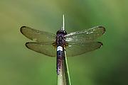 White-spot dragonfly<br /> Odzala - Kokoua National Park<br /> Republic of Congo (Congo - Brazzaville)<br /> AFRICA