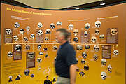 Milpitas Librarian Stephen Fitzgerald walks past a display of skulls while setting up the Smithsonian Institution's traveling Exploring Human Origins exhibit at the Milpitas Library in Milpitas, California, on November 24, 2015. (Stan Olszewski/SOSKIphoto)