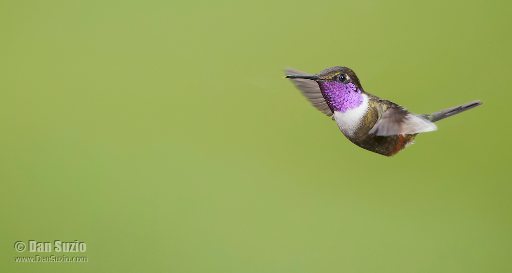 Male purple-throated woodstar, Calliphlox mitchellii. <br /> Tandayapa Valley, Ecuador