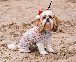 Pictured: Santa Beach Run on the scenic East Lothian coast. This new event is aimed at athletes, casual runners and families. It is hosted by Project Trust with proceeds enabling local school leavers to spend a year volunteering in India/Honduras to teach at a school with few teaching materials. A dog gets into the festive spirit. 15 December 2018  <br /> <br /> Sally Anderson | EdinburghElitemedia.co.uk
