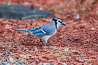Blue Jay (Cyanocitta cristata) foraging on ground, Cherry Hill Beach, Nova Scotia, Canada
