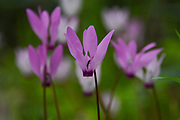 a cluster of Flowering Persian Violets (Cyclamen persicum). Photographed in Israel in March.