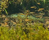 Chain Pickerel<br /> <br /> Bryce Gibson/Engbretson Underwater Photography