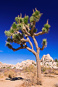 Joshua tree and boulders, Joshua Tree National Park, California