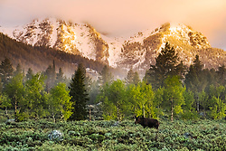 A beautiful spring morning in Jackson Hole.  This bull moose proudly sporting his new set of velvet antlers.