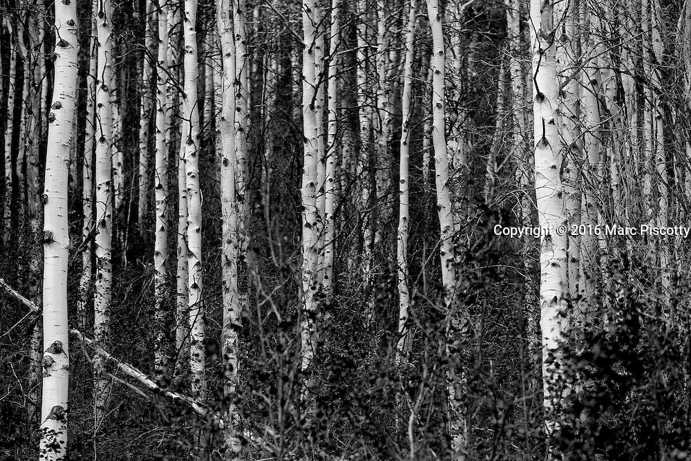SHOT 9/28/16 12:23:19 PM - A black and white image of aspen tree trunks in Beaver Creek, Co. Populus tremuloides is a deciduous tree native to cooler areas of North America, one of several species referred to by the common name aspen. It is commonly called quaking aspen,trembling aspen or American aspen. The trees have tall trunks, up to 25 meters (82 feet) tall, with smooth pale bark, scarred with black. The glossy green leaves, dull beneath, become golden to yellow, rarely red, in autumn. The species often propagates through its roots to form large groves originating from a shared system of rhizomes. (Photo by Marc Piscotty / © 2016)