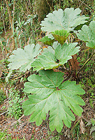 Leaves of poor man's umbrella (parasol de los pobres), Gunnera sp. Yanacocha Reserve, Ecuador