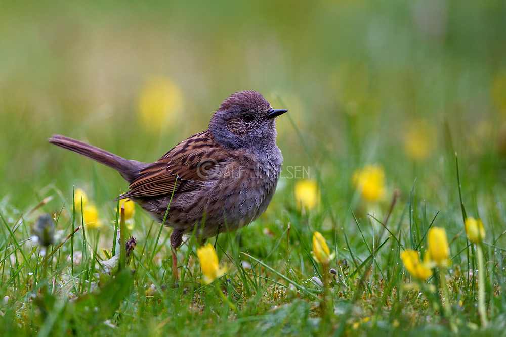 Dunnock (Prunella modularis) from Hidra, south-western Norway in May.