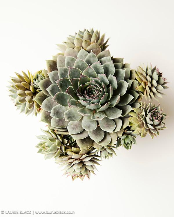 Botanical succulent still-life contemporary fine art photograph