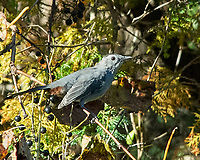 Gray Catbird (Dumetella carolinensis). Image taken with a Nikon D200 camera and 80-400 mm VR lens.