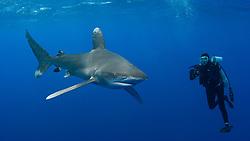 Oceanic White-tip Shark, Carcharhinus longimanus, among the few truly pelagic sharks. Bahamas, Atlantic Ocean