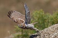 Little Owl in flight, Bagerova Steppe, Kerch Peninsula, Crimea, Ukraine