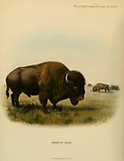 The American bison or simply bison (Bison bison Here as Bos bison), also commonly known as the American buffalo or simply buffalo, is an American species of bison that once roamed North America in vast herds. colour illustration From the book ' Wild oxen, sheep & goats of all lands, living and extinct ' by Richard Lydekker (1849-1915) Published in 1898 by Rowland Ward, London