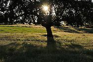 Holm oak, Quercus ilex, Dehesa landscape .Campanarios de Azába reserve, Salamanca Region, Castilla y León, Spain