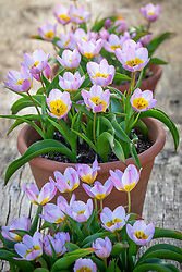 Tulipa saxatilis Bakeri Group 'Lilac Wonder'  AGM in terracotta pots