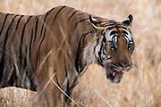 Bengal tiger (Panthera tigris tigris), Bandhavgarh National Park, India.