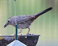 Gray Catbird. Image taken with a Nikon 1 V3 camera and 70-300 mm VR lens.