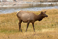 Female Elk (Cervus elaphus), Yellowstone National Park, Wyoming, USA   Photo: Peter Llewellyn