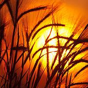 Foxtail barley and the setting sun, growing along the coast near Anchorage, Alaska.