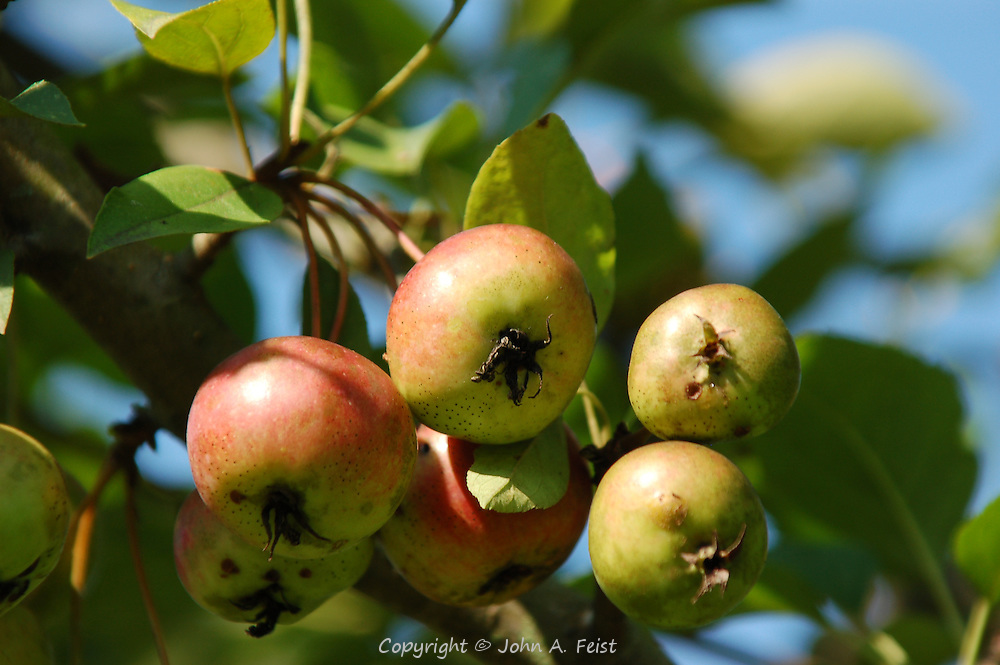 A few crab apples in the fall sun ready for picking.  Princeton Nursery, Princeton, NJ