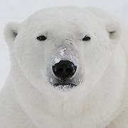 A polar bear near Cape Churchill, Manitoba, Canada.