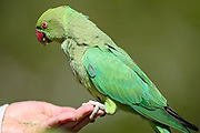 A Parakeet eats from people's hands in Hyde Park, central London on Saturday, April 17, 2021. This weekend marks the day when Prince Philip of Britain was buried in Windsor, England. The Queen announced the death of her beloved husband, His Royal Highness Prince Philip, Duke of Edinburgh who died at age 99. HRH passed away peacefully on April 9th at Windsor Castle after 73 years of marriage to Britain's Queen Elizabeth II. (Photo/ Vudi Xhymshiti)