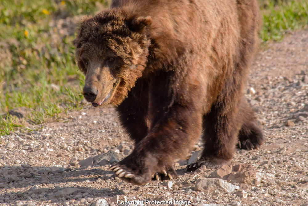 A brown Grizzly Bear lops down a mountain trail in Yellowstone National Park. As it approached we could see this bear had a tracking collar in place, and avoided our gaze, not wanting to engage with us.  The mountain here, Mount Washburn, has a modest elevation of 10,223 feet (3,116 m), and is part of the Rocky Mountain range of Montana. Wild life will often make use of human trails for ease of walking.