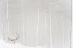 An adult stag is partially obscured during a ferocious snowstorm Cairngorms National Park, Scotland, UK.<br /> <br /> BIO: Andy is a feature contributor to National Geographic magazine and is one of Europe's most awarded photographers. With more than 50 individual awards featuring more than 100 awarded images his images consistently feature in all of the world's most prestigious wildlife photographic competitions. In 2016 he was named the overall winner of Bird Photographer of the Year, winning two categories in the process, and he is also the most successful photographer in the history of the British Wildlife Photography Awards with 4 category wins and 27 individual awards featuring 36 images. He has also been awarded 3 times in Wildlife Photographer of the Year and 3 times in European Wildlife Photographer of the Year whilst in 2012 he was named Nature Photojournalist of the Year for a portfolio of 12 gannet images captured whilst working on assignment for National Geographic magazine.<br /> <br /> Andy works exclusively with animals and birds that are wild and free and is renowned for his uncompromisingly ethical approach, abhorring those that put their pursuit of images before the welfare of their subjects. He is a vegan and an ardent supporter of extending rights to all animals, not just the ones with which we share our homes, and his frequently outspoken views on photography ethics, conservation, animal rights and environmental issues can be found in his regular Opinion piece in Outdoor Photography magazine. He has appeared numerous times on television, on shows such as The One Show, BBC News, The Victoria Derbyshire Show, Wild about Wales and a memorable piece on Countryfile where he attempted to teach comedian Jo Brand how to capture images of wildlife. He has also appeared on BBC Radio 5 Live and has appeared many times on BBC Radio Derby.<br /> <br /> He lives in Derbyshire with his wife Claire and their dog.<br /> <br /> WEBSITE: andrewparkinson.com<br />