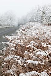 Hoar frost on bracken by a road. Pteridium aquilinum
