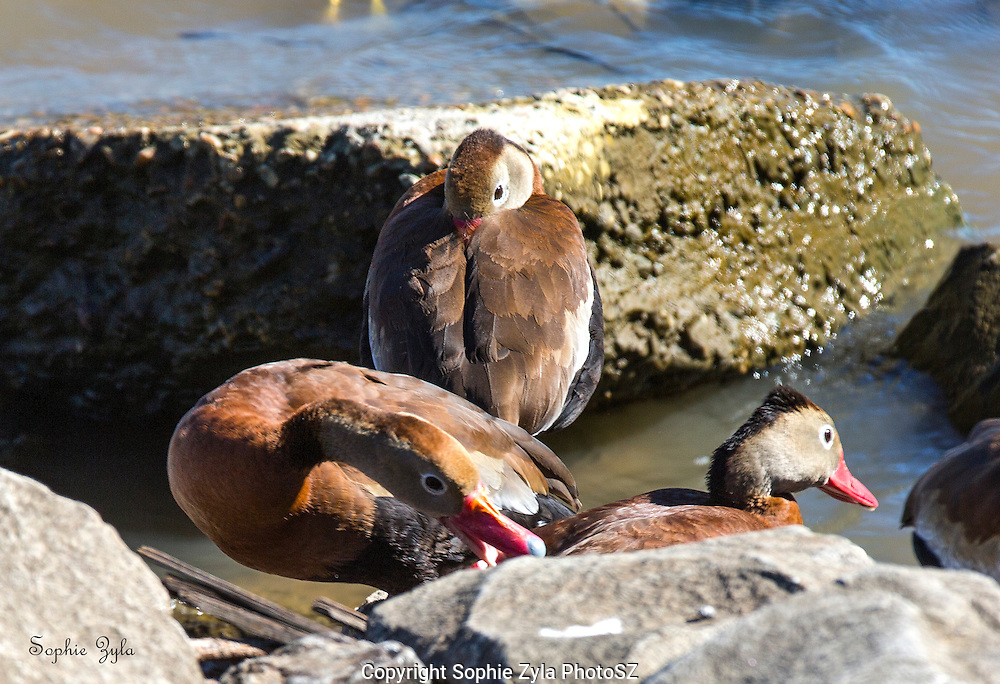 Black-bellied Whistling Duck Three is a Crowd