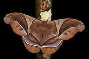 Giant Silkworm Moth (Saturniidae) (Lepidoptera)<br /> Yasuni National Park, Amazon Rainforest<br /> ECUADOR. South America