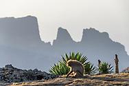 Ein weiblicher Blutbrustpavian (Theropithecus gelada), Simien Nationalpark, Debark, Region Amhara, Äthiopien<br /> <br /> A female gelada (Theropithecus gelada), Simien National Park, Debark, Amhara Region, Ethiopia