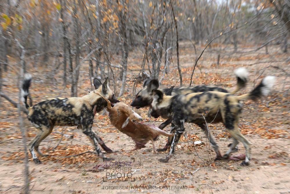Drei Afrikanische Wildhunde (Lycaon pictus) haben ein Steinböckchen (Raphicerus campestris) erbeutet, Schutzgebiet Sabi Sands, Südafrika<br /> <br /> Three African wild dogs (Lycaon pictus) preyed on a steenbok (Raphicerus campestris), private game reserve Sabi Sands, South Africa