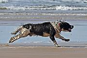 A Spaniel having fun on The Big Strand