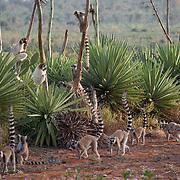Ring-tailed lemur group. Berenty Reserve, Madagascar