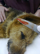 11/08/2011<br /> EXCLUSIVE<br /> Pet Dog Survives After Being Stabbed in Forehead<br /> <br /> A family's pet dog has miraculously survived after would-be burglars plunged a knife 12 centimetres into her forehead, directly between the dog's eyes.<br />  Bella was seen happily running in the street minutes after she was brutally attacked by criminals she had prevented from breaking in.<br />  The brave six-year-old Alsatian/terrier cross breed didn't appear to notice the large knife's handle protruding from her forehead.<br />  Bella was attacked on in the early hours of Saturday morning while defending a neighbour's property in Stellenbosch, South Africa.<br />  Owner Vernon Swart said his next door neighbours telephoned him to tell him that they had spotted a burglar trying to break into their house