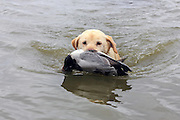 Keith Crowley's ten-year-old Yellow Lab, Rosie, brings in a Canvasback drake during a hunt.