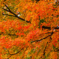 """""""Fall Fiesta""""<br /> <br /> A lovely sweeping branch filled with a fiesta of vibrant fall color on this wonderful Maple tree!!<br /> <br /> Fall foliage by Rachel Cohen"""