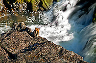Amazing image of a chipmunk just sitting and observing the action at Dillon Falls on the Deschute river in eastern Oregon, near Bend. These guys are usually so hyper, this took me by surprise. He sat there a considerable time, seeming aware of my presence.