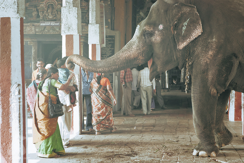 Mangalam - a 38 year old female elephant - greets a worshiper with a gentle tap on the head.